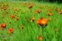 Orangerotes Habichtskraut im Vessertal (Foto: Norman Kessler, Creative Commons)