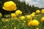 Trollblumen im Vessertal (Foto: SehLax, Creative Commons)