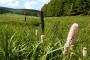 Wiesenknöterich im Vessertal (Foto: SehLax, Creative Commons)